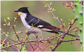 Pied Cuckoo or Chatak as seen just before the rains in the Western Ghats